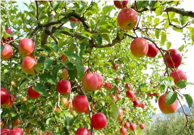 2020りんごの木のオーナー 」【受付終了】 | だんだん好きになる旅 まつかわ(松川町観光サイト)